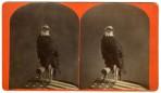 Old Abe War Eagle